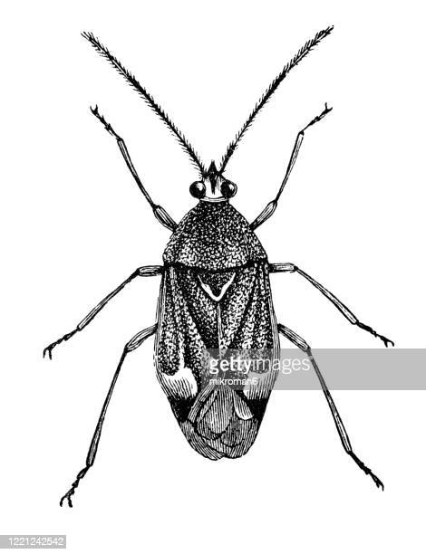 old engraved illustration of phytocoris bug - entomology, myriapoda, arachnida. antique illustration, popular encyclopedia published 1894. copyright has expired on this artwork - bot fly stock pictures, royalty-free photos & images