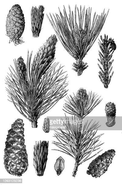 old engraved illustration of pine cones - horticulture stock pictures, royalty-free photos & images