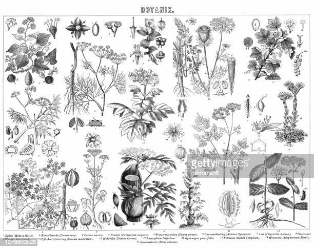 old engraved illustration of plants, botany - anise stock pictures, royalty-free photos & images