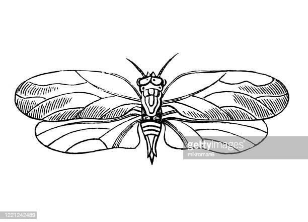 old engraved illustration of psylla genistae - entomology, myriapoda, arachnida. antique illustration, popular encyclopedia published 1894. copyright has expired on this artwork - bot fly stock pictures, royalty-free photos & images