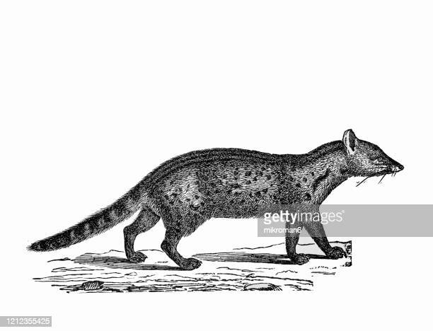 old engraved illustration of rasse - carnivorus animals. antique illustration, popular encyclopedia published 1894. copyright has expired on this artwork - civet cat stock pictures, royalty-free photos & images