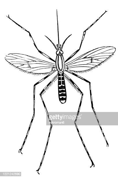 old engraved illustration of ringed gnat,  flying insects  - entomology, myriapoda, arachnida. antique illustration, popular encyclopedia published 1894. copyright has expired on this artwork - bot fly stock pictures, royalty-free photos & images