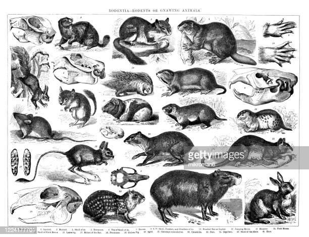 old engraved illustration of rodentia - rodents or gnawing animals - field mouse stock pictures, royalty-free photos & images