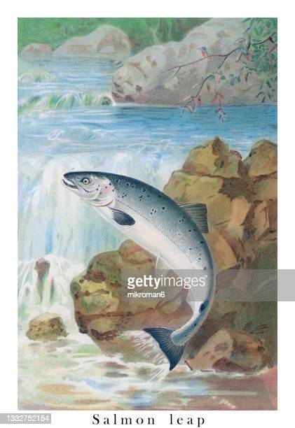 old engraved illustration of salmon leap - water stock pictures, royalty-free photos & images
