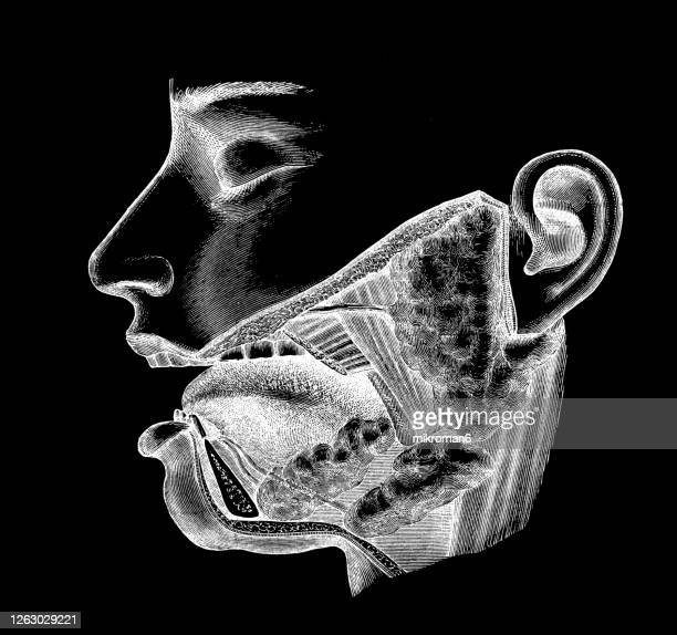 old engraved illustration of side view of mouth, and salivary glands - anatomie stock-fotos und bilder