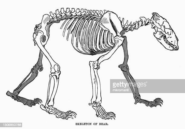 old engraved illustration of skeleton of bear - um animal imagens e fotografias de stock