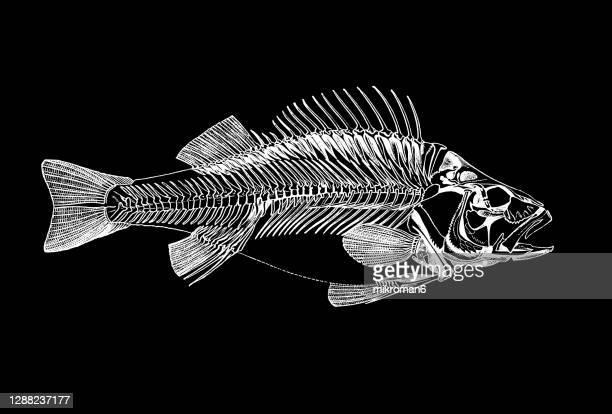 old engraved illustration of skeleton of european perch fish - フラットフィッシュ ストックフォトと画像