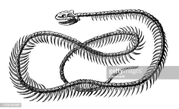 old engraved illustration of skeleton of grass snake - serpents and lizards animals - grass snake stock pictures, royalty-free photos & images
