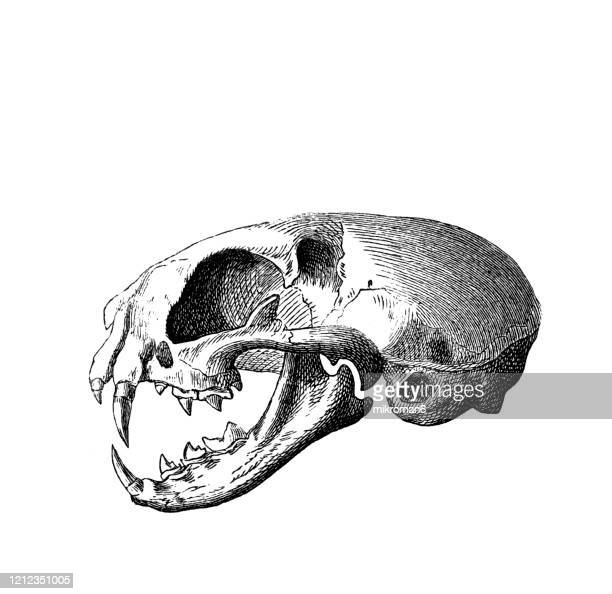 old engraved illustration of skull of cat - carnivorus animal. antique illustration, popular encyclopedia published 1894. copyright has expired on this artwork - engraved image stock pictures, royalty-free photos & images