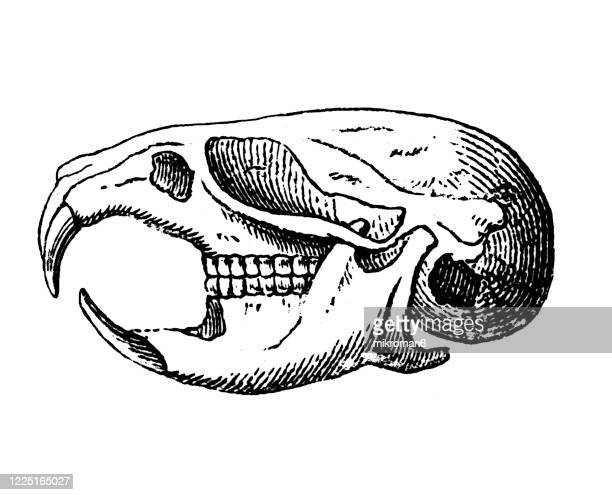 old engraved illustration of skull of field mouse - rodentia - rodents or gnawing animals - field mouse stock pictures, royalty-free photos & images