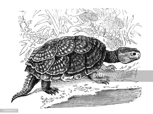 old engraved illustration of snapping turtle - reptiles - tortoises and turtles, crocodiles - snapping turtle stock pictures, royalty-free photos & images