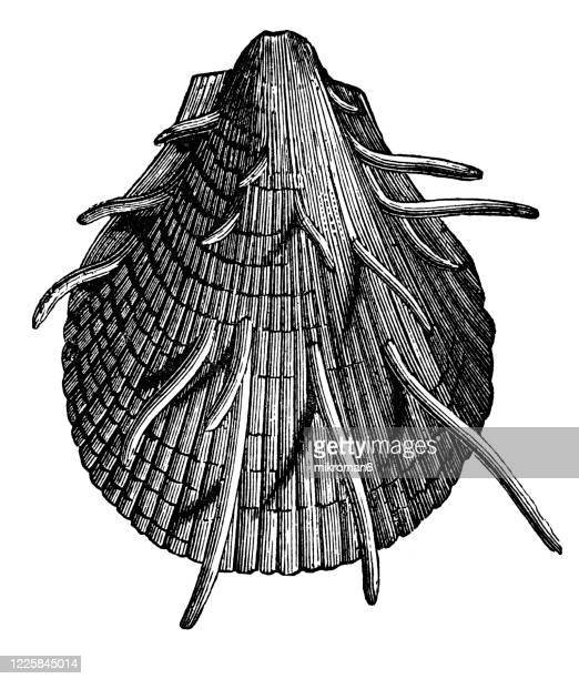 old engraved illustration of spondylus -  mollusca and echinodermata - morbillivirus stock pictures, royalty-free photos & images
