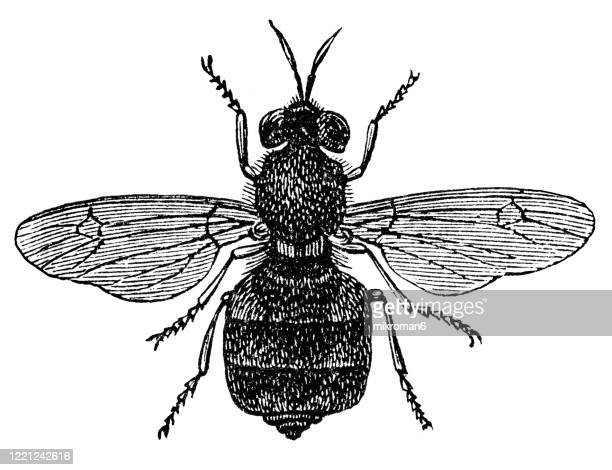 old engraved illustration of stratiomys fly - entomology, myriapoda, arachnida. antique illustration, popular encyclopedia published 1894. copyright has expired on this artwork - bot fly stock pictures, royalty-free photos & images