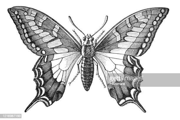 old engraved illustration of swallowtail butterfly - entomology. antique illustration, popular encyclopedia published 1894. copyright has expired on this artwork - swallowtail butterfly stock pictures, royalty-free photos & images