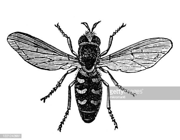 old engraved illustration of syrphus hoverflies- entomology, myriapoda, arachnida. antique illustration, popular encyclopedia published 1894. copyright has expired on this artwork - bot fly stock pictures, royalty-free photos & images