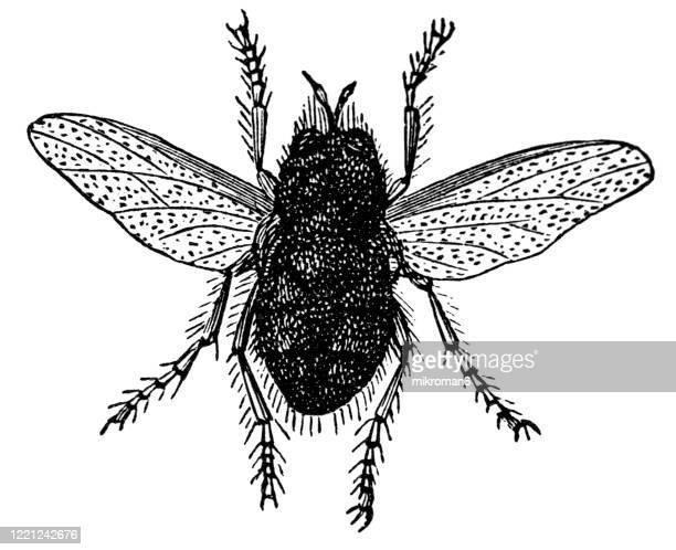 old engraved illustration of tachina fly, tachinid fly - entomology, myriapoda, arachnida. antique illustration, popular encyclopedia published 1894. copyright has expired on this artwork - bot fly stock pictures, royalty-free photos & images