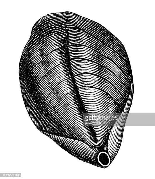 old engraved illustration of terebratula or lamp shell - mollusca and echinodermata - morbillivirus stock pictures, royalty-free photos & images