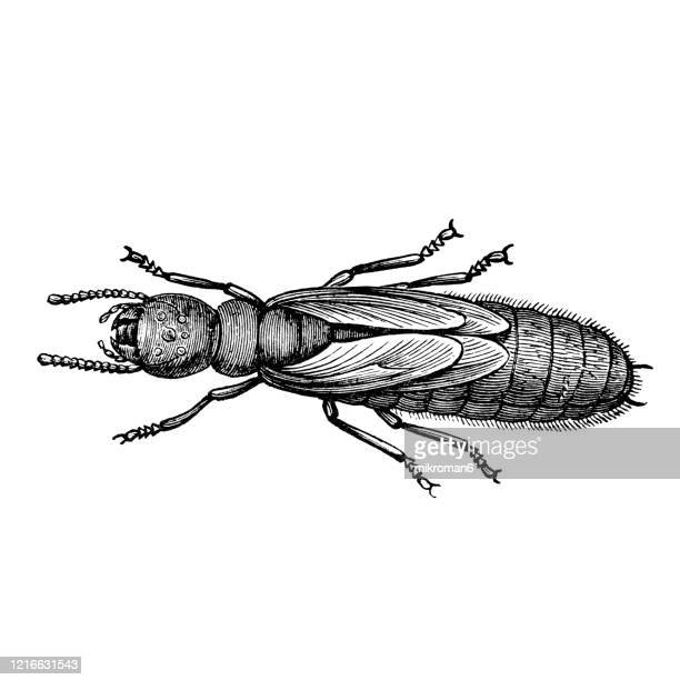 old engraved illustration of  termite - entomology, insects. antique illustration, popular encyclopedia published 1894. copyright has expired on this artwork - termite photos et images de collection