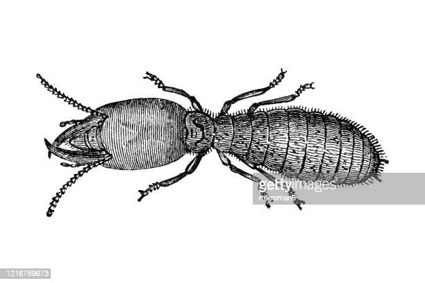 old engraved illustration of termite - entomology, insects. antique illustration, popular encyclopedia published 1894. copyright has expired on this artwork - engraved image stock pictures, royalty-free photos & images