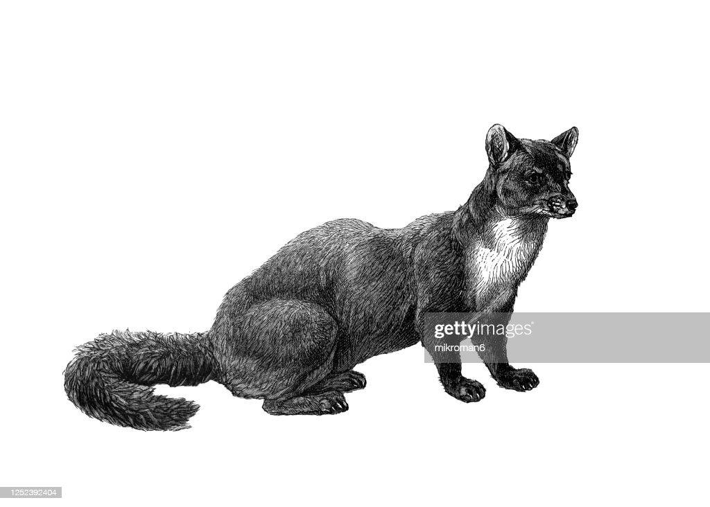 Old engraved illustration of The beech marten - Carnivorous Animal. : Stock Photo