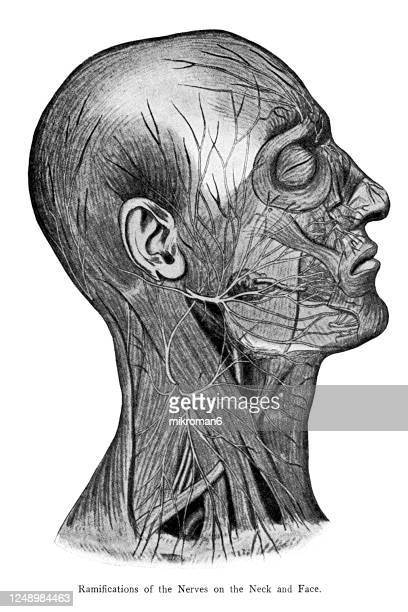 old engraved illustration of the cerebro-spinal nerve system - glossopharyngeal nerve stock pictures, royalty-free photos & images