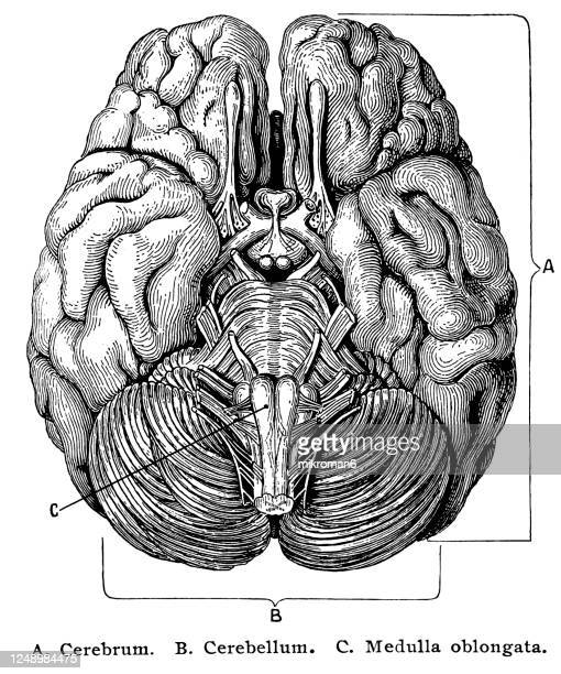 old engraved illustration of the cerebro-spinal nerve system - cerebrum stock pictures, royalty-free photos & images
