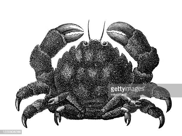 old engraved illustration of the chinese mitten crab, woolly crab - crustaceans and arachnida. antique illustration, popular encyclopedia published 1894. copyright has expired on this artwork - crab stock pictures, royalty-free photos & images