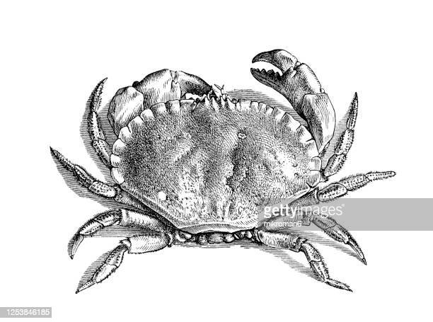 old engraved illustration of the edible crab, crustaceans - crab stock pictures, royalty-free photos & images