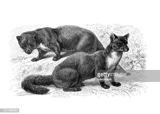 old engraved illustration of the european pine marten and the beech marten - carnivorous animal. - lithograph stock pictures, royalty-free photos & images