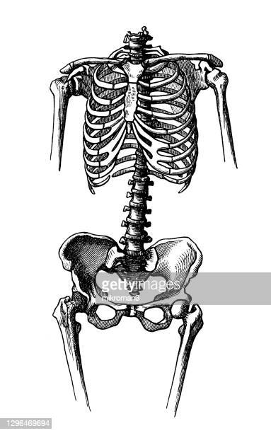 old engraved illustration of the female skeleton - human body part stock pictures, royalty-free photos & images