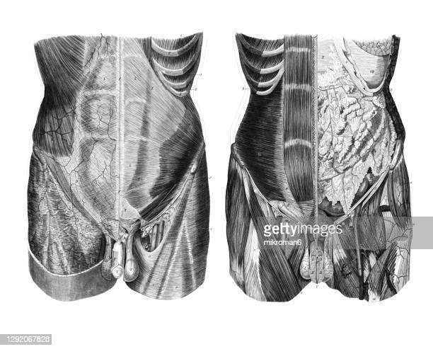 old engraved illustration of the human abdomen, internal organs - human stomach internal organ stock pictures, royalty-free photos & images