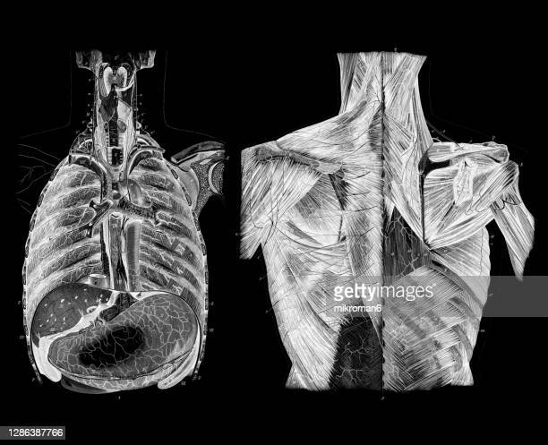 old engraved illustration of the human guts, internal organs - fanny pic stock pictures, royalty-free photos & images