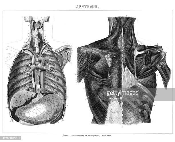 old engraved illustration of the human guts, internal organs - buttock photos stock pictures, royalty-free photos & images
