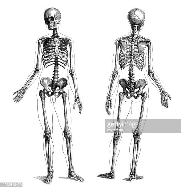 old engraved illustration of the human skeleton - biomedical illustration stock pictures, royalty-free photos & images
