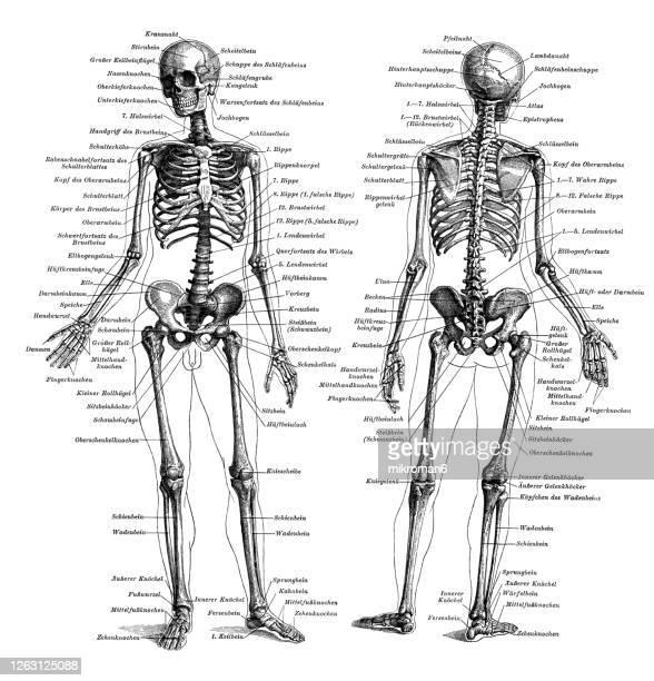 old engraved illustration of the human skeleton - partie du corps humain photos et images de collection