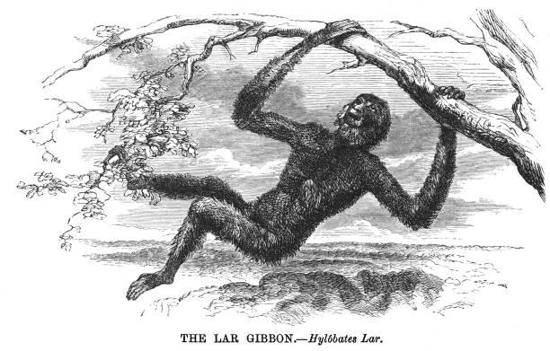 Old engraved illustration of The Lar Gibbon, white-handed gibbon (Hylobates lar)