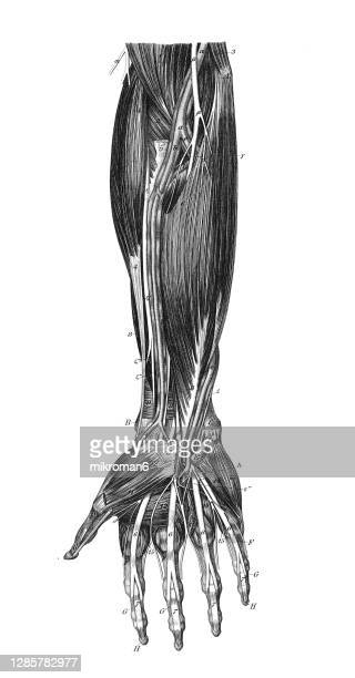 old engraved illustration of the muscular and venous system in the human hand - anatomy stock pictures, royalty-free photos & images