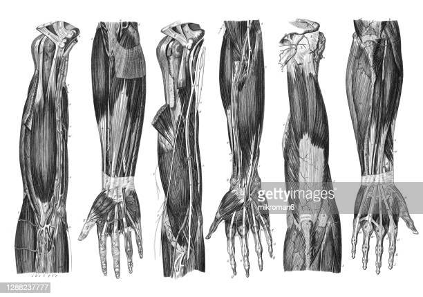 old engraved illustration of the muscular and venous system in the human hand - menschlicher arm stock-fotos und bilder