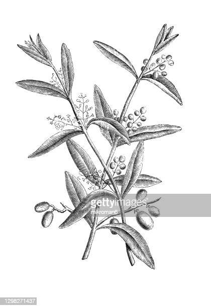 old engraved illustration of the olive tree (olea europaea) - illustration technique stock pictures, royalty-free photos & images