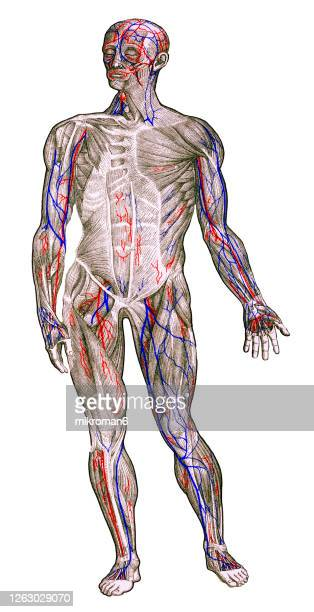 old engraved illustration of the outermost stratum of the human muscles - human body part stock pictures, royalty-free photos & images