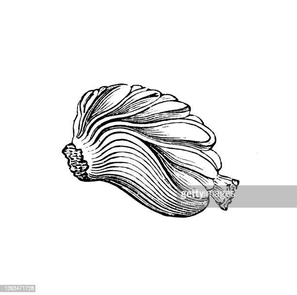 old engraved illustration of the sea coconut, coco de mer, double coconut (lodoicea sechellarum) - coco de mer stock pictures, royalty-free photos & images