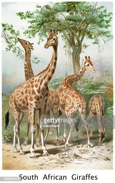 old engraved illustration of the south african giraffe or cape giraffe (giraffa camelopardalis giraffa) - illustration stock pictures, royalty-free photos & images