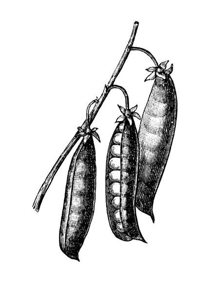 Old engraved illustration of The sweet pea , vegetable plant