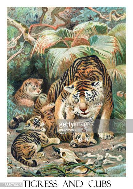 old engraved illustration of tigress and cubs - illustration stock pictures, royalty-free photos & images
