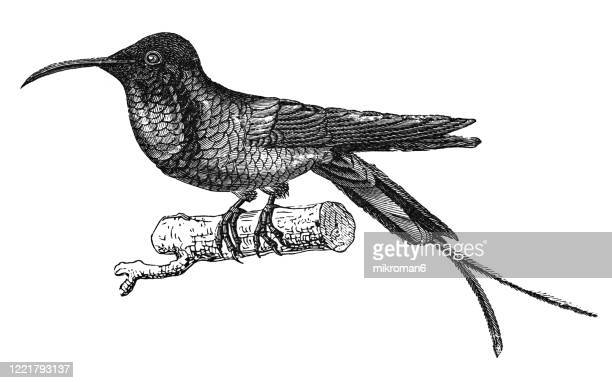 old engraved illustration of topaz hummingbird - ornithology - climbing and perching birds. antique illustration, popular encyclopedia published 1894. copyright has expired on this artwork - antique stock pictures, royalty-free photos & images