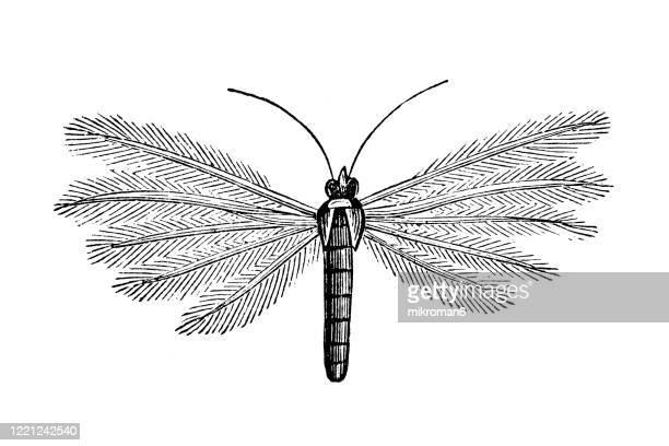 old engraved illustration of white plume moth (pterophorus pentadactyla) - entomology, myriapoda, arachnida. antique illustration, popular encyclopedia published 1894. copyright has expired on this artwork - bot fly stock pictures, royalty-free photos & images