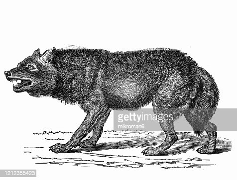 55 Drawing Of Wolves Photos And Premium High Res Pictures Getty Images