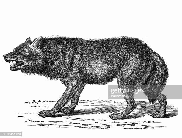 old engraved illustration of wolf - carnivorus animals. antique illustration, popular encyclopedia published 1894. copyright has expired on this artwork - wild dog stock pictures, royalty-free photos & images