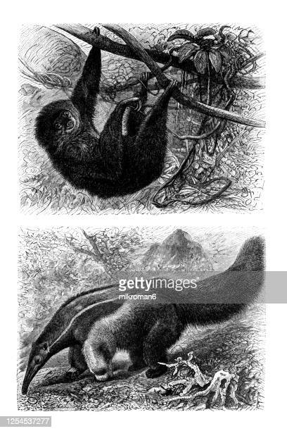 old engraved illustration of - xenarthra, edentata animal. - anteater stock pictures, royalty-free photos & images