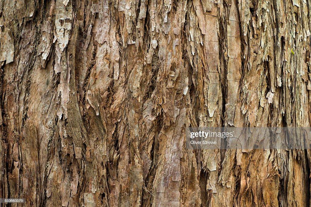 Old eucalyptus : Foto stock